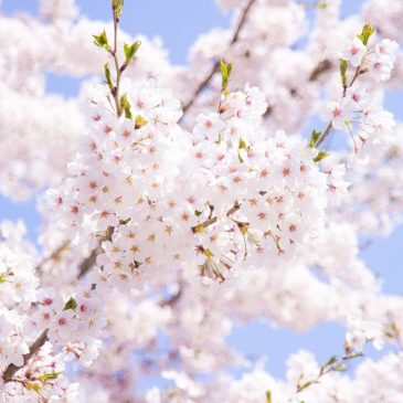Cherry-blossom Viewing 2019 Invitation for Asian Students